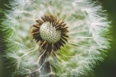 Pissenlit blanc La source est ici Amour d'abeille cette fleur Macro photographie Photographie stock libre de droits