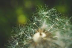 Pissenlit blanc La source est ici Amour d'abeille cette fleur Macro photographie Images stock
