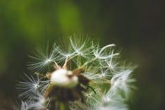 Pissenlit blanc La source est ici Amour d'abeille cette fleur Macro photographie Image stock