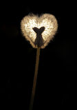 Pissenlit brillé sous forme de coeur Images libres de droits