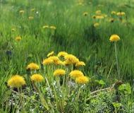 Pissenlit commun jaune Photographie stock libre de droits
