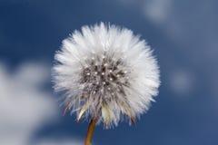Pissenlit contre un ciel bleu Photographie stock