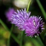 Pissenlit d'automne sur un macro vert de champ Photographie stock libre de droits