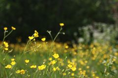 Pissenlit d'automne sur un macro vert de champ images libres de droits