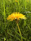 Pissenlit d'Officinale de Taraxacum - ressort photo libre de droits