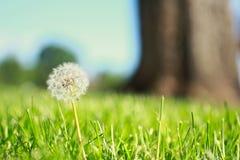 Pissenlit dans l'herbe Photographie stock libre de droits