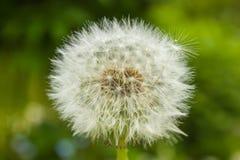 Pissenlit dans l'herbe Photo libre de droits