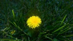 Pissenlit dans l'herbe Images libres de droits