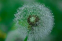 Pissenlit dans l'herbe Photos libres de droits