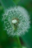 Pissenlit dans l'herbe Photo stock