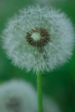 Pissenlit dans l'herbe Image libre de droits