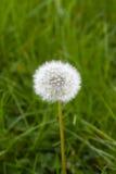 Pissenlit dans l'herbe verte Images stock