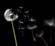 Pissenlit dans le vent Photos libres de droits