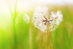 Pissenlit dans le vent Image libre de droits