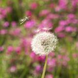 Pissenlit dans le vent Photo libre de droits