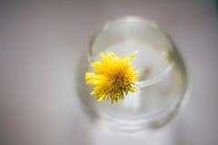 Pissenlit dans les rayons ronds d'un vase au soleil Photographie stock