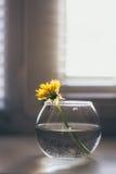 Pissenlit dans les rayons ronds d'un vase au soleil Image libre de droits