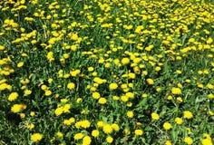Pissenlit dans un domaine d'herbe verte Photographie stock