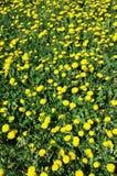 Pissenlit dans un domaine d'herbe verte Photo stock