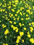 Pissenlit dans un domaine d'herbe verte Images stock