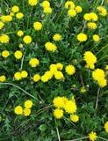 Pissenlit dans un domaine d'herbe verte Photographie stock libre de droits