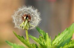 Pissenlit de floraison Photographie stock libre de droits