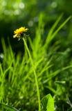 Pissenlit de floraison Photos libres de droits