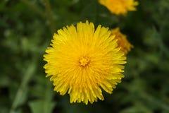 Pissenlit de floraison Images stock