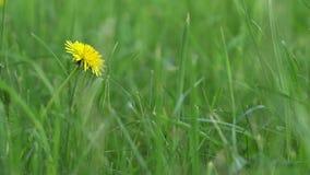 Pissenlit de floraison simple dans l'herbe verte banque de vidéos