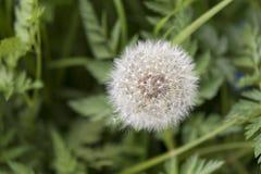Pissenlit de floraison sur un fond vert photo libre de droits