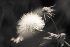 Pissenlit en noir et blanc Photos stock