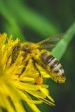 Pissenlit et abeille jaunes La source est ici Amour d'abeille cette fleur Macro photographie Images libres de droits
