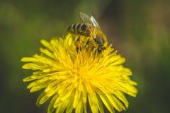 Pissenlit et abeille jaunes La source est ici Amour d'abeille cette fleur Macro photographie Photos libres de droits