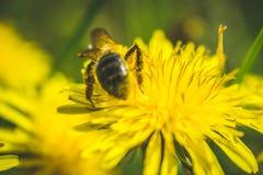 Pissenlit et abeille jaunes La source est ici Amour d'abeille cette fleur Macro photographie Photographie stock libre de droits