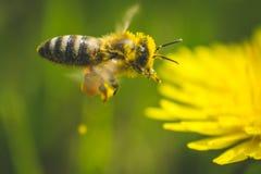 Pissenlit et abeille jaunes La source est ici Amour d'abeille cette fleur Macro photographie Photographie stock