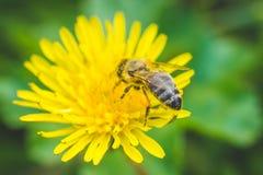 Pissenlit et abeille jaunes La source est ici Amour d'abeille cette fleur Macro photographie Image libre de droits