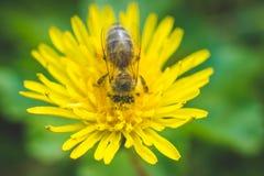 Pissenlit et abeille jaunes La source est ici Amour d'abeille cette fleur Macro photographie Image stock