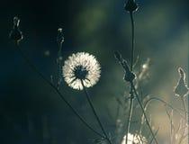 Pissenlit et bourgeons blancs Photo libre de droits
