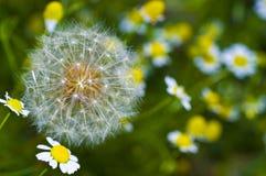 Grandes fleurs de pissenlit et de camomille Photos stock