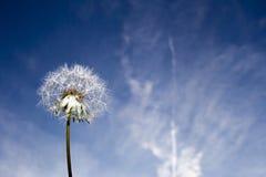 Pissenlit et ciel Photo libre de droits