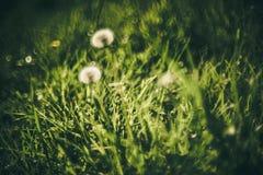 Pissenlit et herbe Images stock