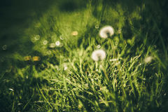 Pissenlit et herbe Images libres de droits