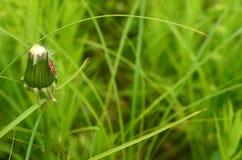 Pissenlit et insecte Photo stock