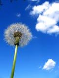 Pissenlit et le ciel Image libre de droits