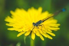 Pissenlit et libellule jaunes La source est ici Amour d'abeille cette fleur Macro photographie Photographie stock libre de droits