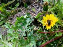 Pissenlit et petite abeille Image stock
