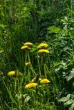 Pissenlit Fleur Champ Photos libres de droits