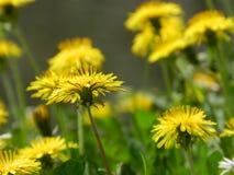 Pissenlit, fleur de ressort photographie stock