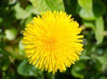 Pissenlit Fleur jaune de pissenlit sur le champ closeup photographie stock libre de droits