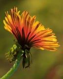 Pissenlit fleuri Photographie stock libre de droits